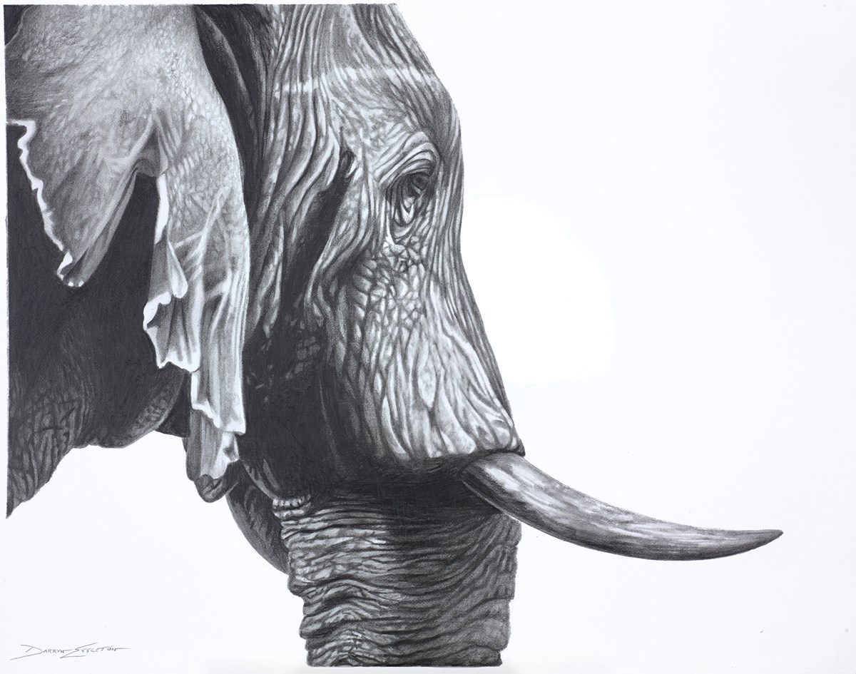 Elephant Study by darryn eggleton -  sized 14x11 inches. Available from Whitewall Galleries